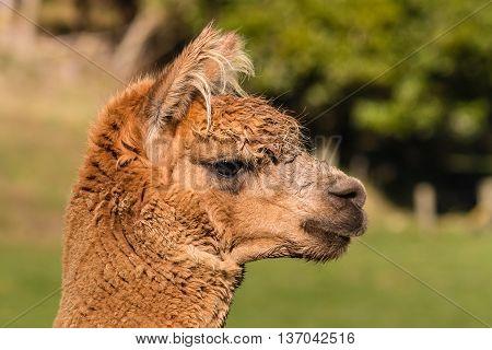 close up of young suri alpaca head