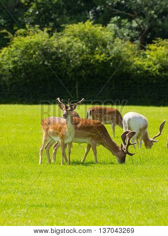 Wild herd of deer New Forest Hampshire uk