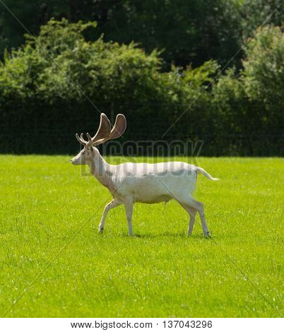 White deer New Forest Hampshire southern uk
