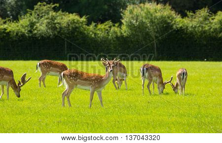 Herd of deer in the English countryside New Forest Hampshire southern uk