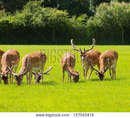Deer grazing new Forest near Lyndhurst UK