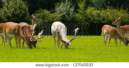 Deer grazing with antlers New Forest England UK in a field in summer