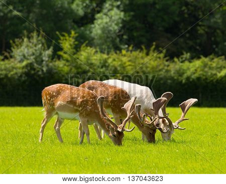Deer grazing with antlers New Forest England UK