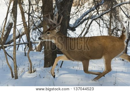 A Whitetail Deer in Minnesota in the winter