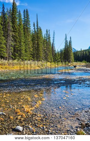 Banff National Park. Beneaped creek autumn, surrounded by pine forest. Canada, Rocky Mountains