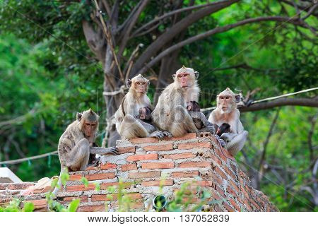 Thai monkey family is sitting on the wall
