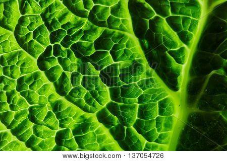 fresh savoy cabbage leaf