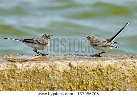 Two swallows are negotiating on the beach