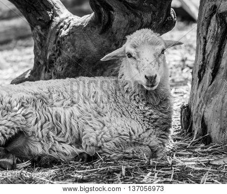 The animal farm lamb. White lamb looking at the camera.
