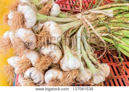 Bunch of garlic bulbs with stalks tied together with a rope