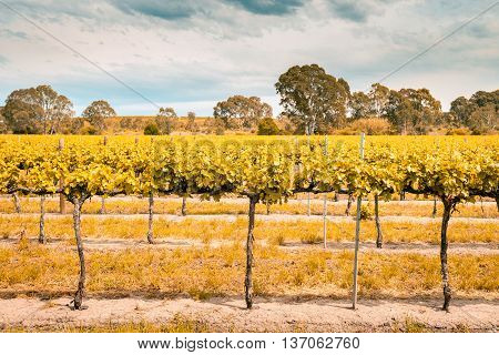 Grape vines in Barossa Valley South Australia. Color-toning applied