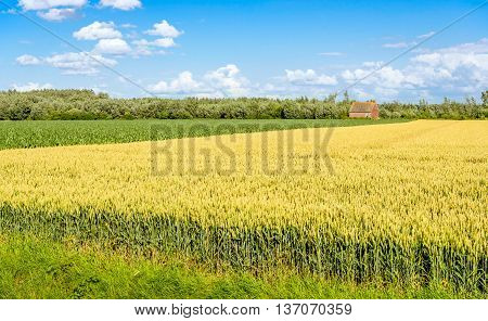 Picturesque Dutch rural landscape with ripening wheat and silage maize plants in the fields and an small old barn in the background. It's a sunny day in the beginning of the summer season.