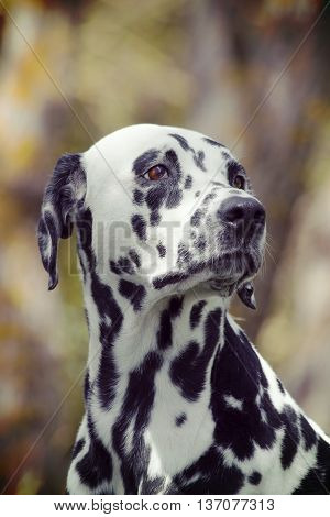 Toned portrait of a cute dog dalmatian