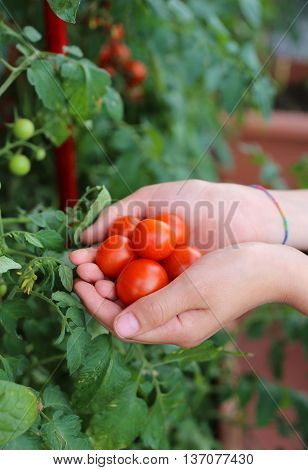 Child With His Hands Full Of Fresh Tomatoes Just Harvested From
