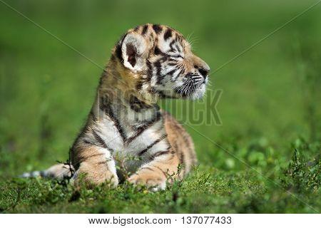 adorable amur tiger cub posing outdoors in summer