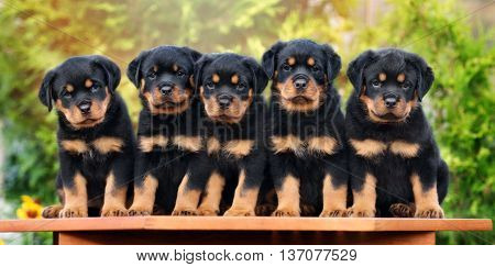 group of rottweiler puppies posing together outdoors