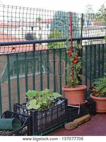 Potted Plant With Red Vine Tomatoes In A Small Urban Garden On T