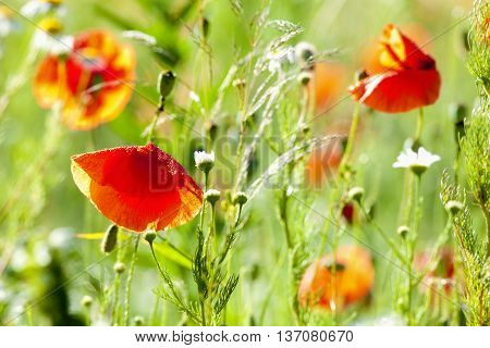 Blooming Wild Flowers on the Meadow in Summer
