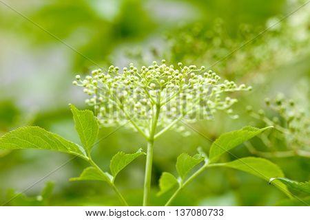 Closeup of Black Elder Flower in Spring