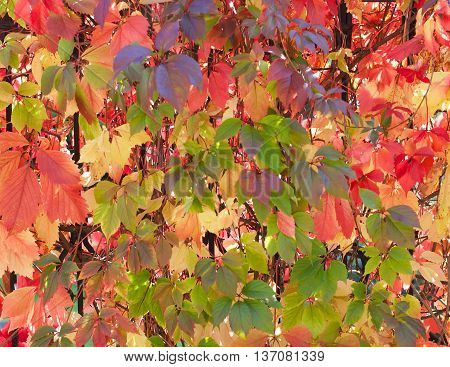 Background of Beauty Variegated Autumn Wild Grape Leaves closeup Outdoors. Selective Focus