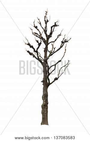 Old Single Dry Tree, Isolated On White Background.