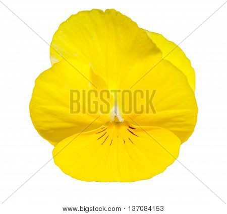 Viola Yellow Pansy Flower Isolated On White.