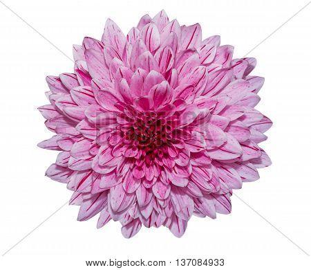 Purple Chrysanthemum Flower Isolated On White Background.