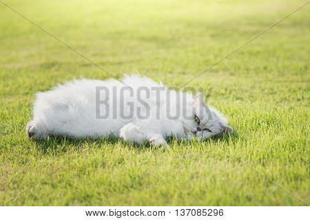 Cute persia cat lying on green grass