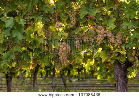 closeup of sauvignon blanc grapes ripening in vineyard