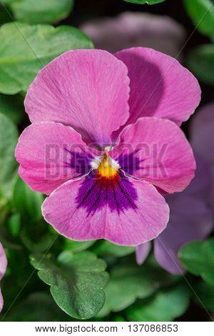 Viola Purple Pansy Flower
