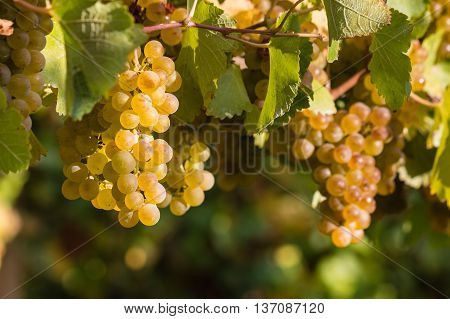 closeup of sauvignon blanc grapes on vine
