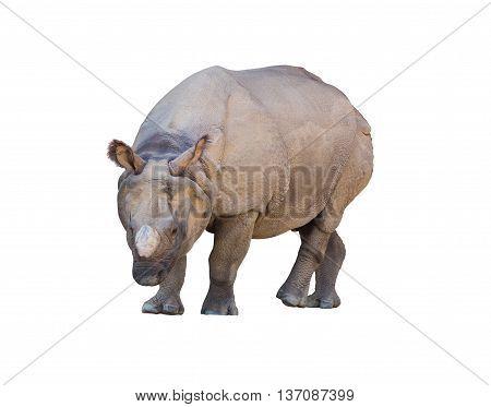 Rhinoceros Walking Isolated On White Background