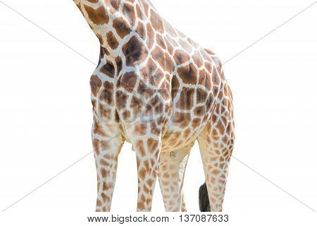 Body Half Of Giraffe Isolated On White Background.