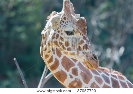 Beautiful Giraffe Close Up, Giraffe In Forest.