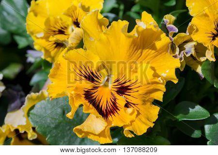 Viola Yellow Pansy Flower In Garden.