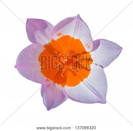 Close-up Beautiful Tulip Flower Isolated On White