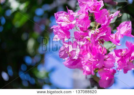 Beautiful Magenta Bougainvillea Flowers (bougainvillea Sp).