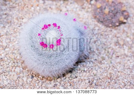 Cactus Of Globe Shaped Cactus With Long Thorns. (mammillaria Hahniana Werderm).