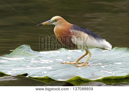 Javan Pond heron Ardeola speciosa Birds of Thailand on lotus leaf