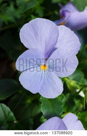 Viola Blue Pansy Flower In Garden