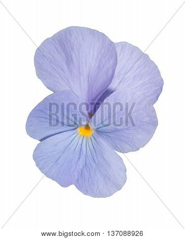 Viola Blue Pansy Flower Isolated On White Background.