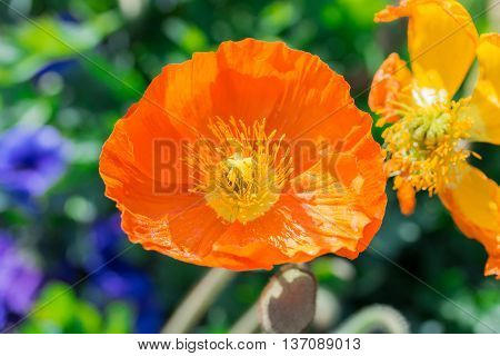 Close Up Of A Orange Iceland Poppy(scientific Name Papaver Nudicaule)