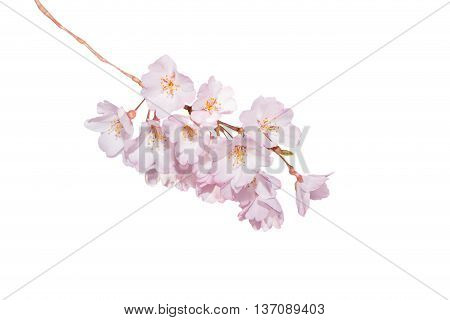 Beautiful Pink Cherry Blossom Isolated On White.