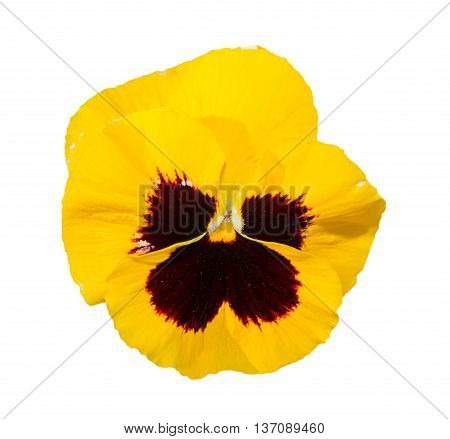 Viola Black And Yellow Pansy Flower Isolated On White