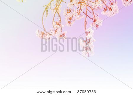 Abstract Colorful Beautiful Pink Cherry Blossom.