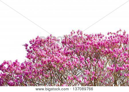 Beautiful Pink Flower (scientific Name Pink Haze) Isolated On White.