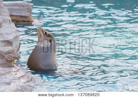 Sea Lion Swimming And Sunbathe In The Pool