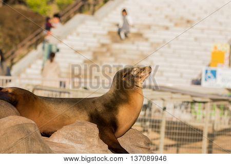 Sea Lion Sleeping And Sunbathe On Large Stone