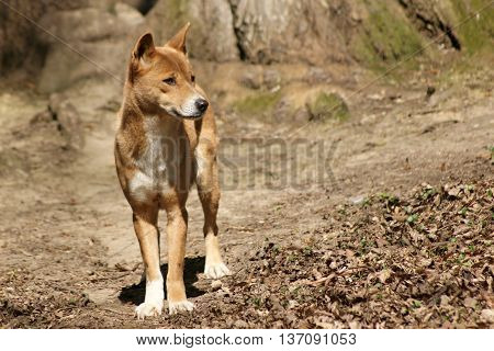 New guinea singing dog - Canis dingo hallstromi