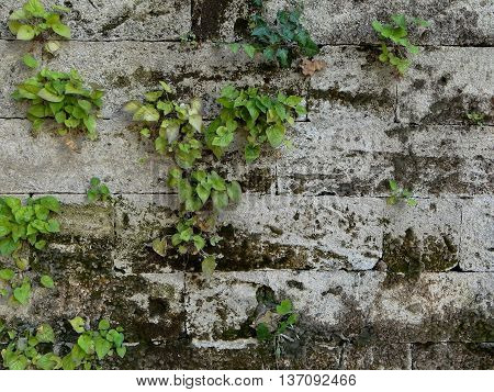 old wall made from stone bricks, which had turned black over time, on which grow green plants